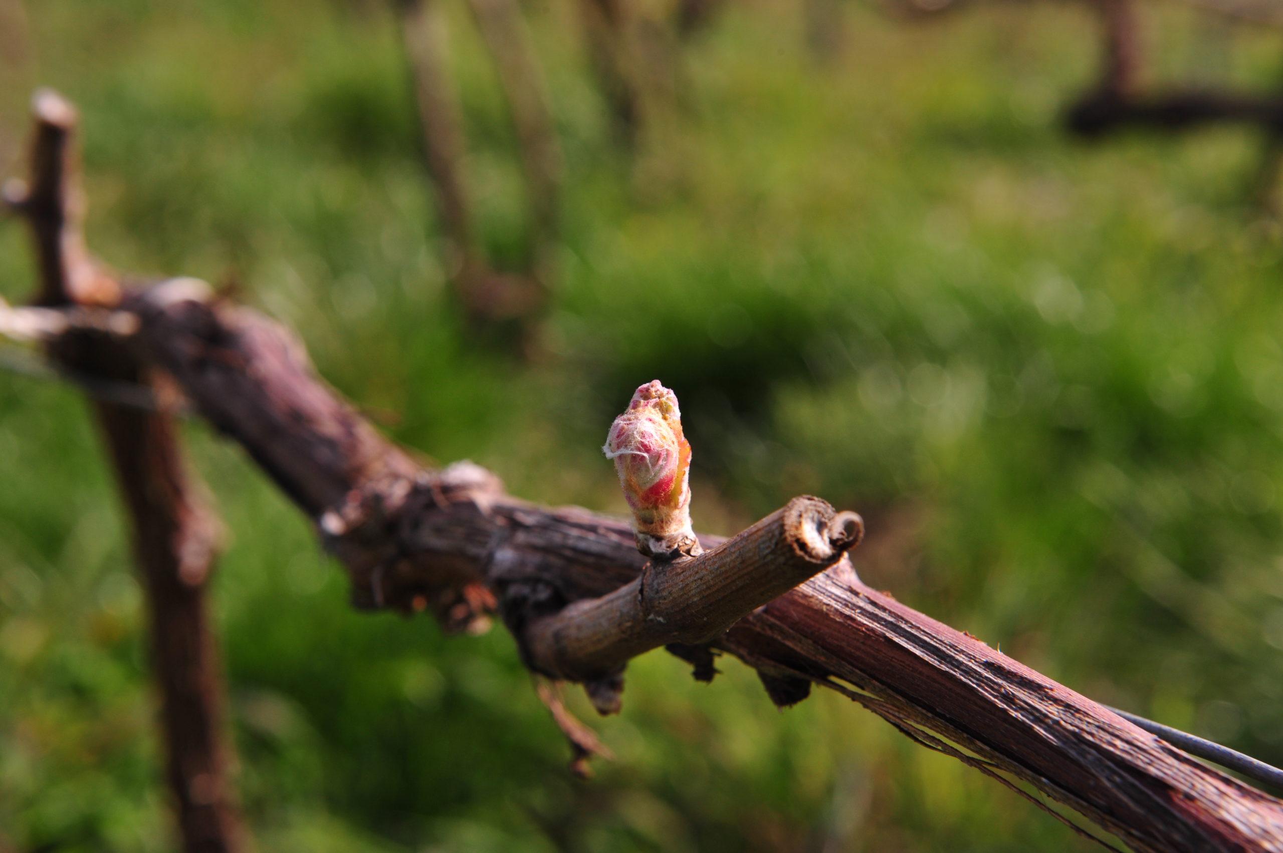 Le Cycle Végétatif de la Vigne